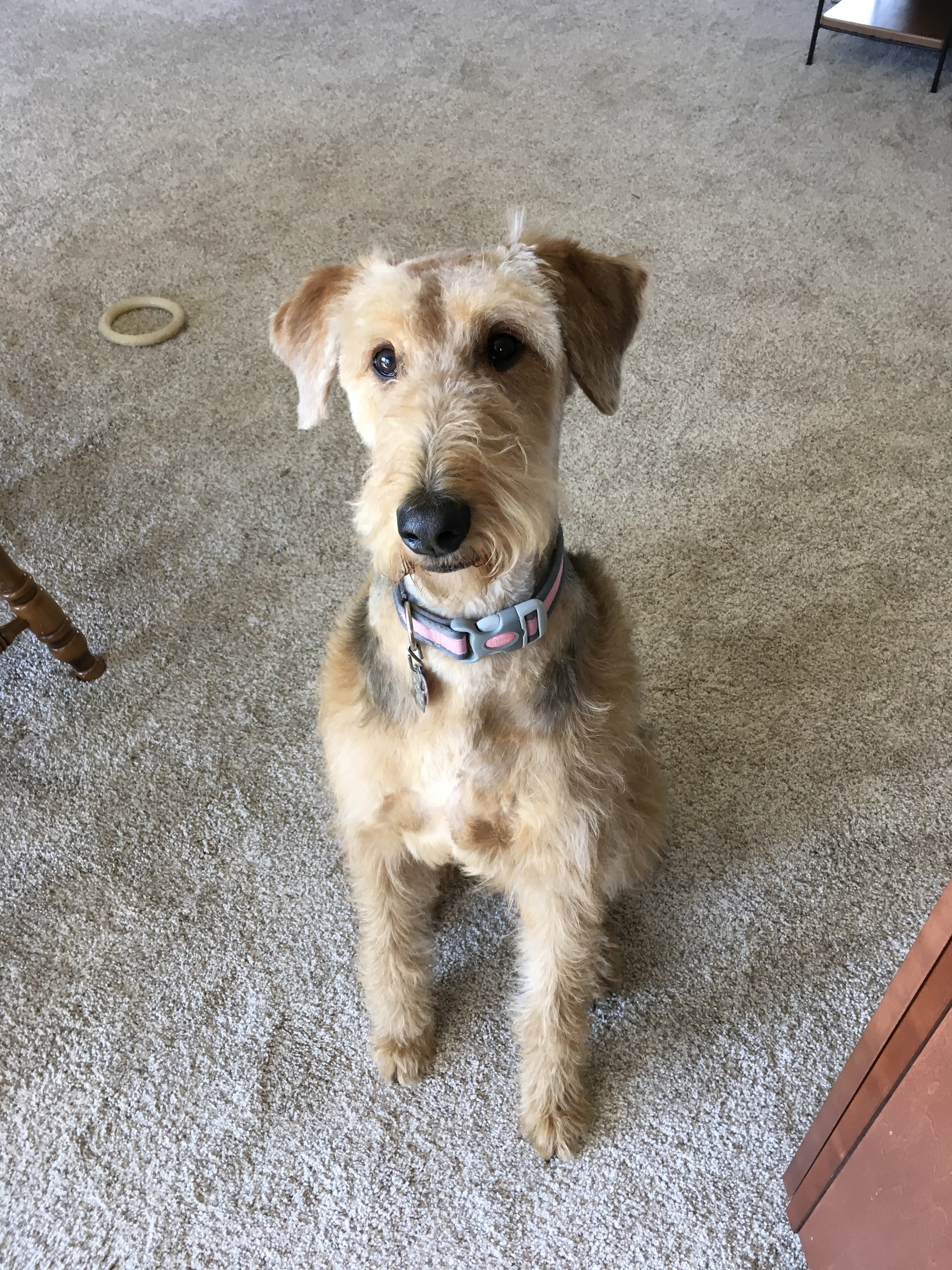 Starbuck Airedoodle Puppies